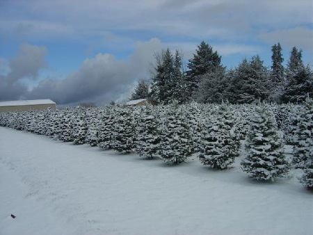 Snow covers Grand firs at Little St. Nick's tree farm in Salem