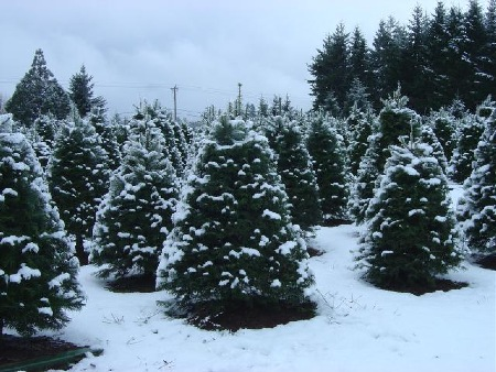 Grand firs at Little St. Nick's choose-n-cut in Salem